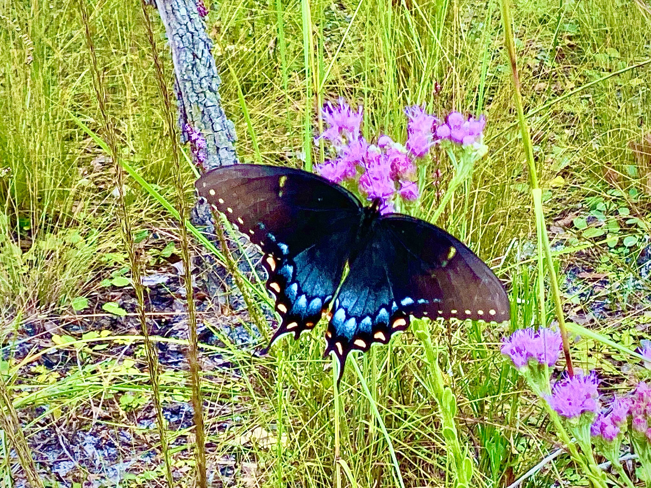 Spicebush Swallowtail Butterfly At Buford Spring In Chassahowitzka Wildlife Management Area
